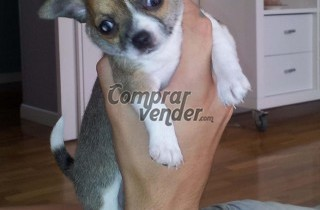 Chihuahuas monísimos en Barcelona