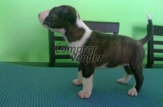 Bull terrier hembra