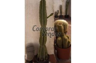 Lote 100 cactus