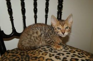 se venden gatito de raza bengal de dos meses
