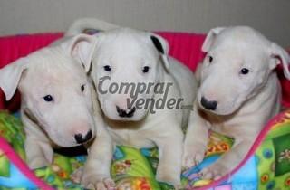 Cachorros Bull Terrier Macho y Hembra