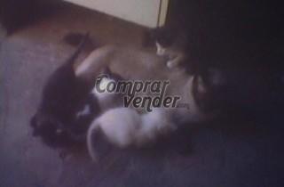 Cachorro siamesa hembra y tres gatas comunes negras.